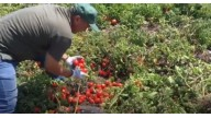 Гібрид ЯГ 8810 F1 (JAG 8810 F1) в сегменті ранніх томатів - краще від Seminis