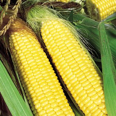 Трофі F1 – Кукурудза цукрова, Seminis