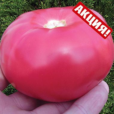 Пандароза F1 – Томат індетермінантний рожевий для споживання у свіжому вигляді, Seminis