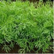 Кріп - агротехніка вирощування