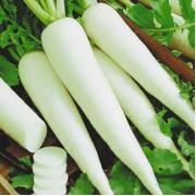 Дайкон - Агротехніка вирощування