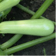 Кабачок - Агротехніка вирощування