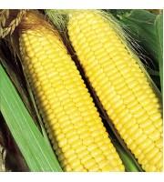 Цукрова кукурудза - агротехніка вирощування