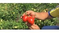 Veloz F1 (Велоз) Середньоранній гібрит томата від фірми Seminis